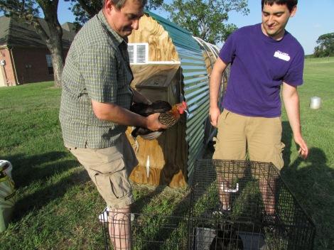 Gathering hens!
